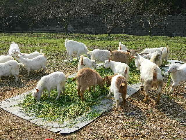 象山晓塘养羊场---供应放山羊
